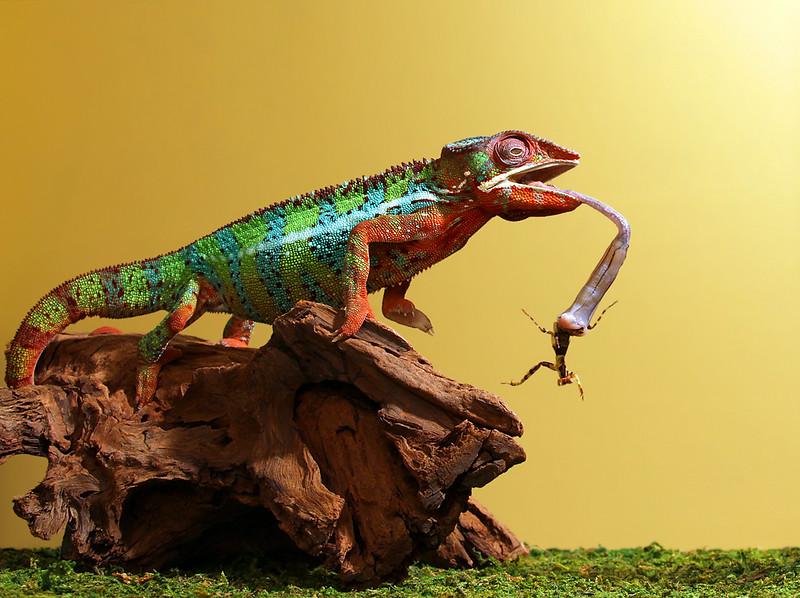 Chameleon Eats Praying Mantis.jpg
