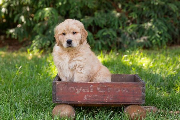Izzy the Golden Puppy