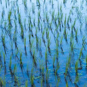 Kamu Lodge - Rice Fields