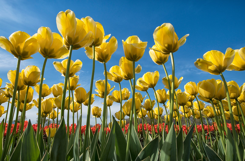 Yellow Wicked Tulips Reach to the Sky_7951