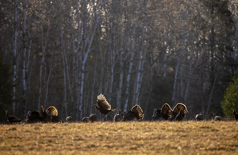 Wild Turkey flock displaying male toms courtship Skogstjarna Carlton County MN  IMGC5709.jpg