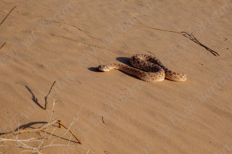 Sahara sand viper- Cerastes vipera - עכן קטן