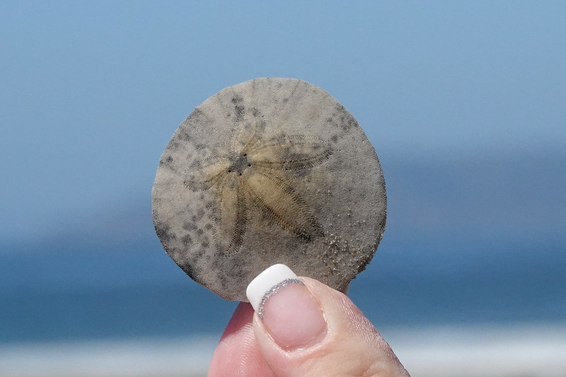 The Sand Dollar is a sea shell found on Pismo's beaches