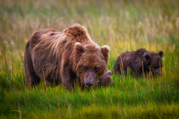 Grizzly and Coastal Brown Bear