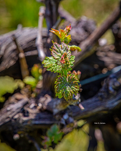 Bud Break