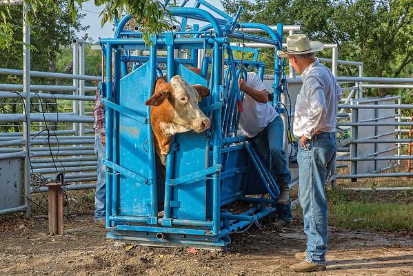 Working Heifers September 2015