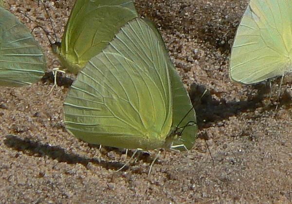 Statira(v)10755 June 30, 2007  11:34 a.m.  P1010755 Statira sulphur, Aphrissa statira