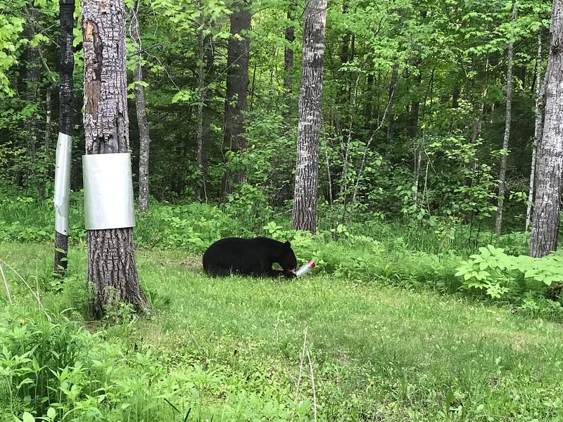 Black Bear at Skogstjarna Carlton County MNIMG_5621.jpg