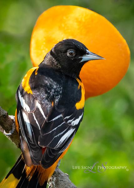 LS - Birds - Oriole Portrait-1.jpg