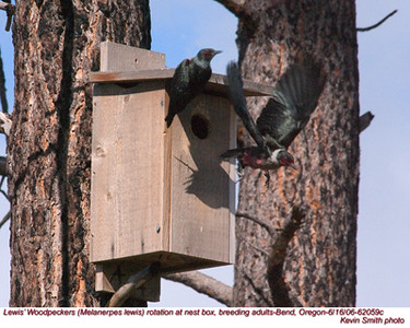 Lewis'WoodpeckersP62059c.jpg
