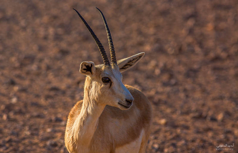 Gazelle (4).jpg