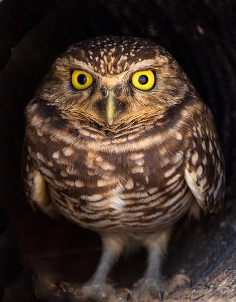 Owls_Burrowing-1.jpg