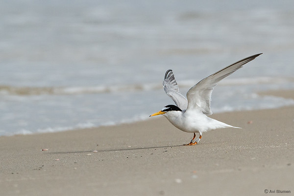 Little tern שחפית גמדית