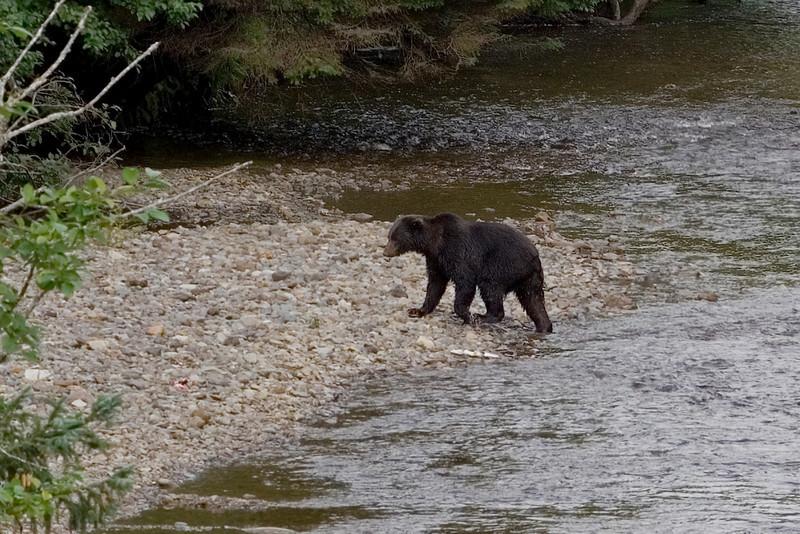 Bear in the River 4.jpg