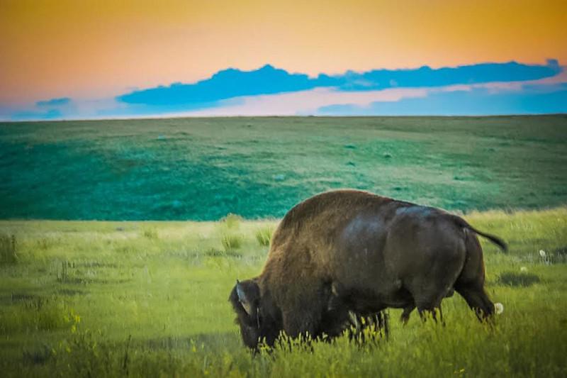 bison saskatchewan.jpg
