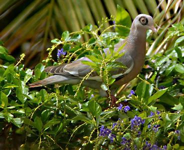 Bare-eyed Pigeon, Naaktoogduif, Warbakoa, Columba corensis