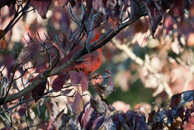 Cardinal 11/2011