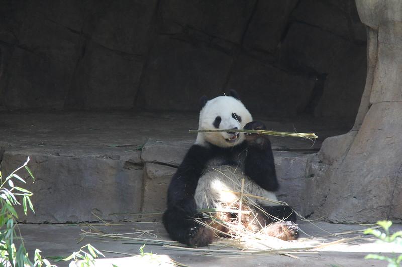 20170807-137 - San Diego Zoo - Giant Panda.JPG