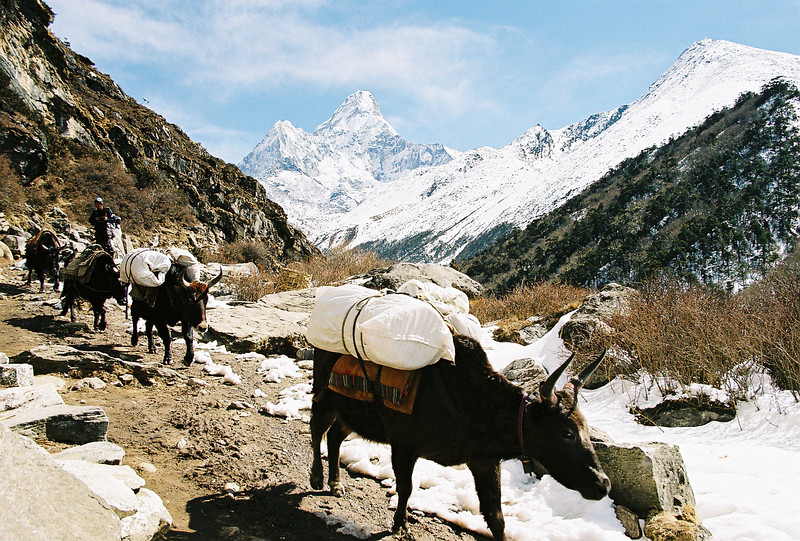 Jupis making their way back to Namche Bazar