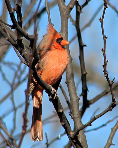 cardinal_2731.jpg