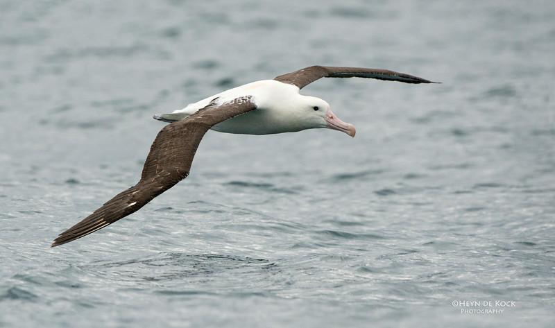 Northern Royal Albatross, Kaikoura, SI, NZ, Jan 2013.jpg