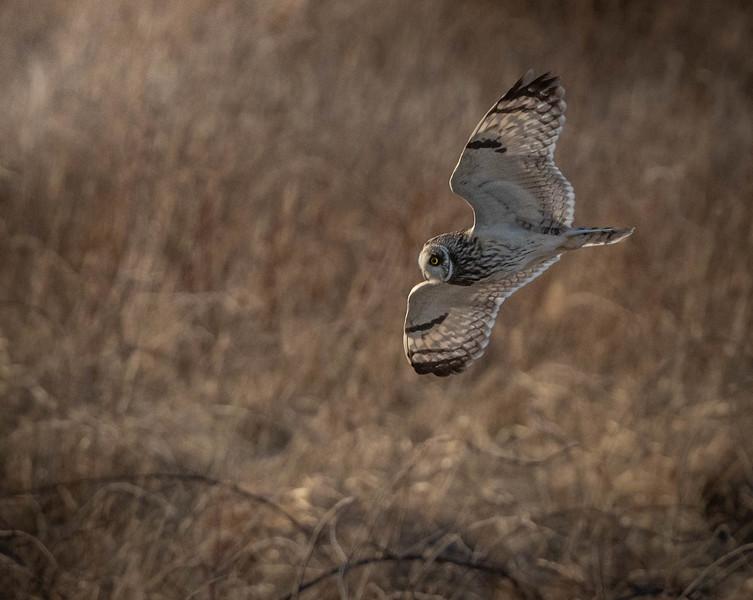 Short-eared Owl underside
