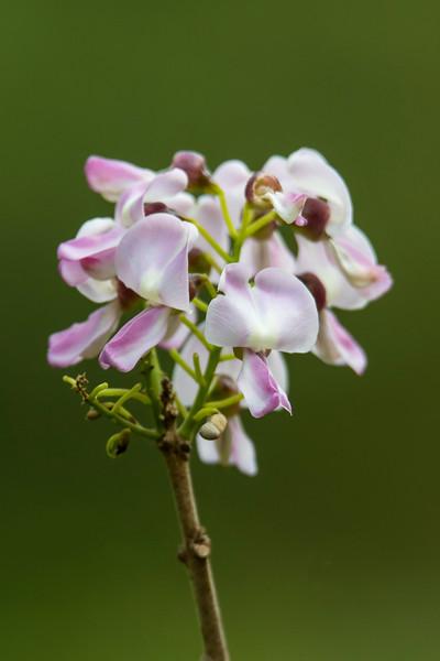 Quick Stick - (Gliricidia sepium) - Jamaica