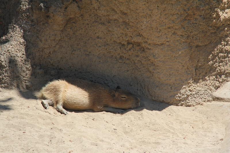 20170807-073 - San Diego Zoo - Capybara.JPG