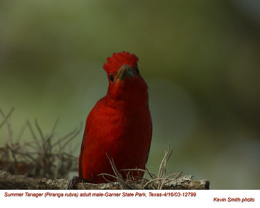 Summer Tanager M12799.jpg