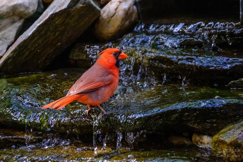 Cardinal Bathing