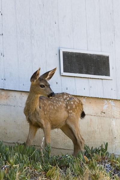 Blacktailed Deer fawn, San Rafael neighborhood, 7/29