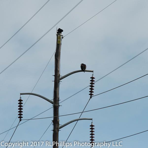 Turkey Buzzards on the wires.