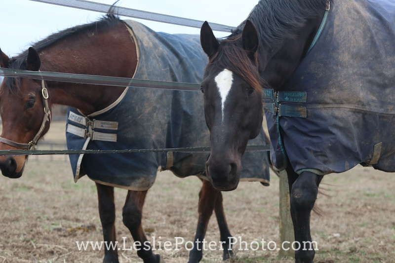 Horses on Opposite Sides of an Electric Fence