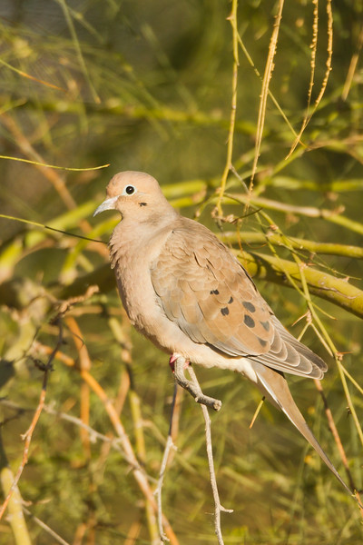 Mourning Dove - Salton Sea, CA, USA