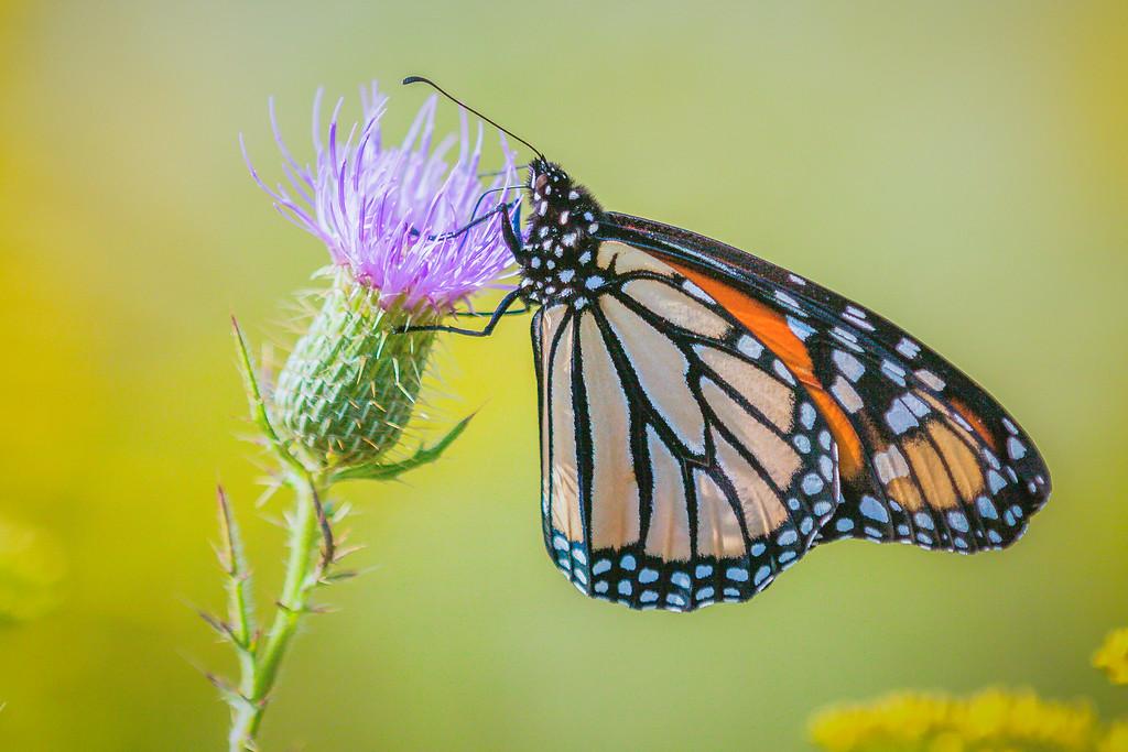彩蝶,花的天使