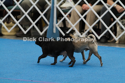Pug Dog of America National Obedience Trial