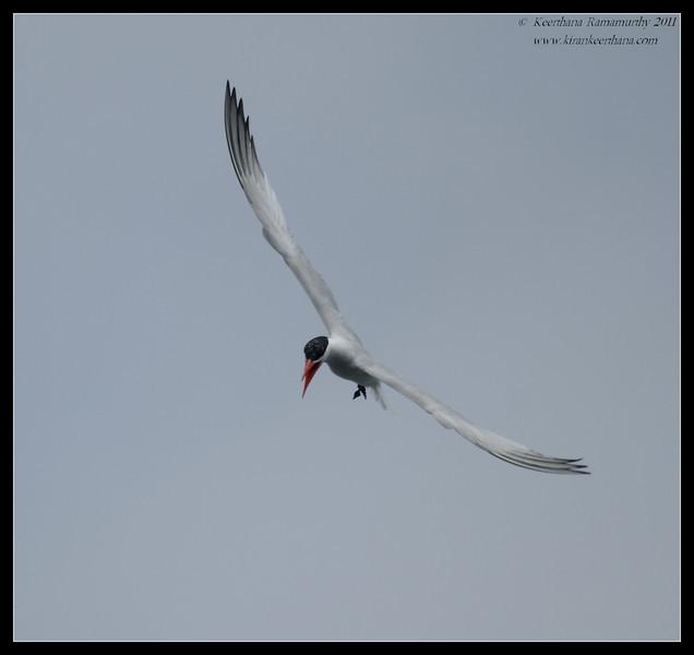 Caspian Tern calling, Mission Bay, Whale watching trip, San Diego County, California, July 2011