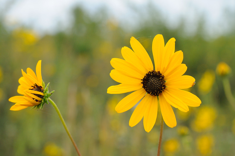 The narrow leaf sunflowers were just beginning to bloom.