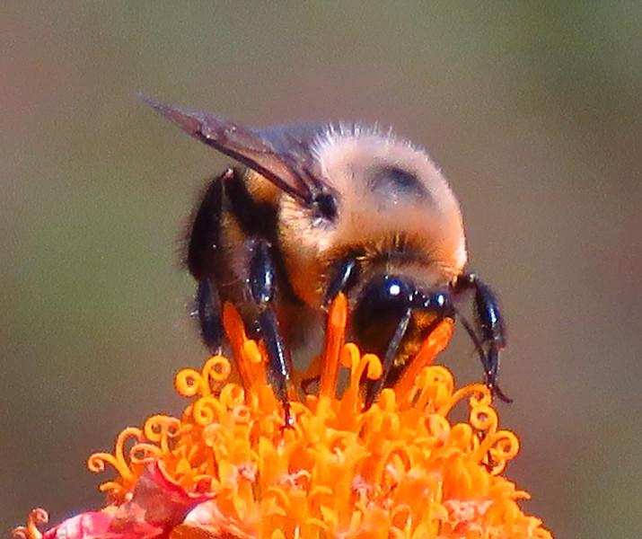 bee on sunfllower.jpg
