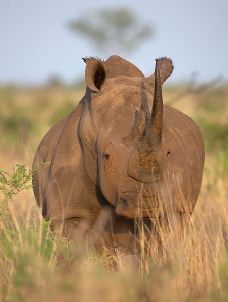 090 White Rhino - 0834.jpg