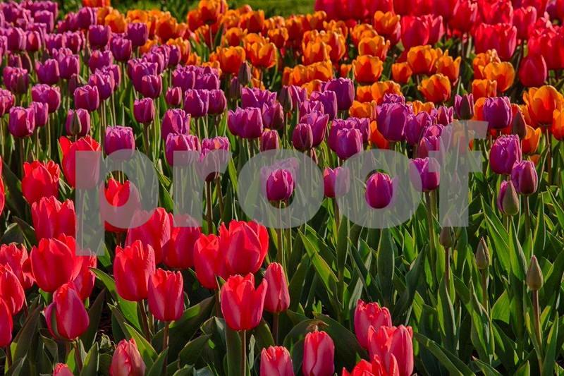Tulips, Skagit 3984_HDR.jpg