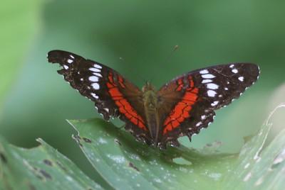 Peru, Ecuador , Galapagos Butterflies and Insects
