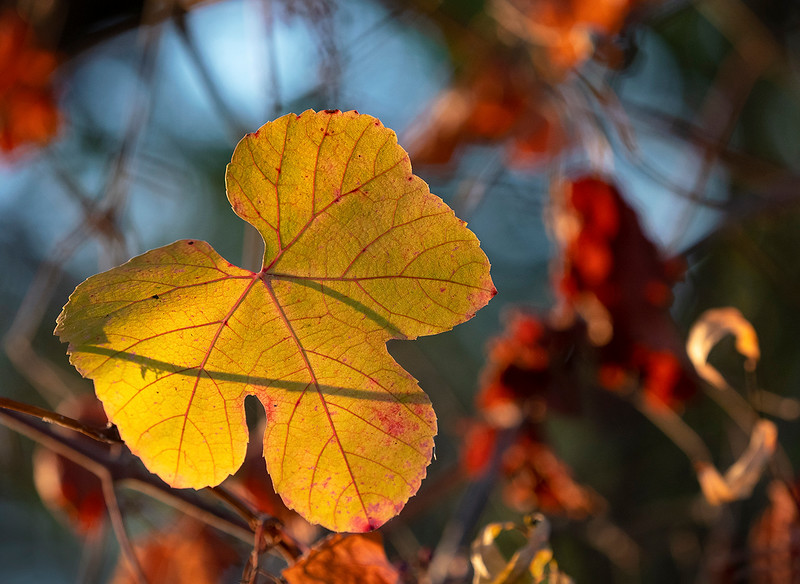 fall leaf cosumnes.jpg