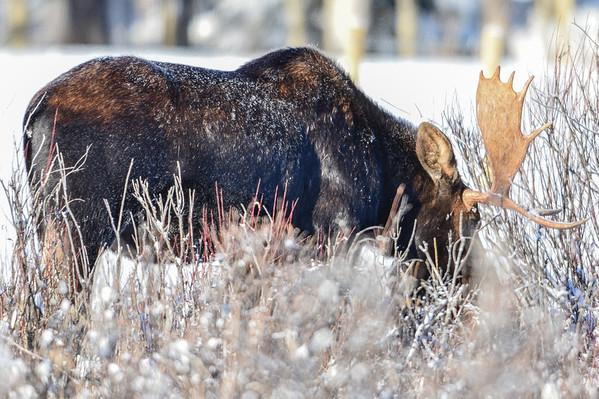 11 2013 Nov 20 Bull Moose*^