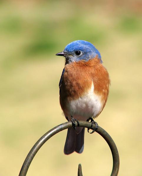 Bluebird_9318.jpg
