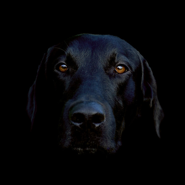 My black labrador, Shane  Thank you all so much for your very kind comments.  I keep meaning to dig the original out and do a tutorial on how I made this image.  Leave me a comment to help motivate me!
