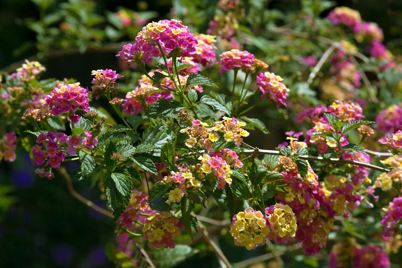 The lantana bush is our primary pollen generator.