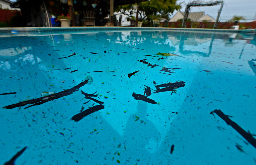 . The pool belonging to Shirley Paris is covered with ash in Antioch, Calif., on Monday, March 18, 2013. Downtown Antioch and surrounding areas are cleaning up today because of a large grass fire that occurred on Sherman Island Sunday. (Jose Carlos Fajardo/Staff)