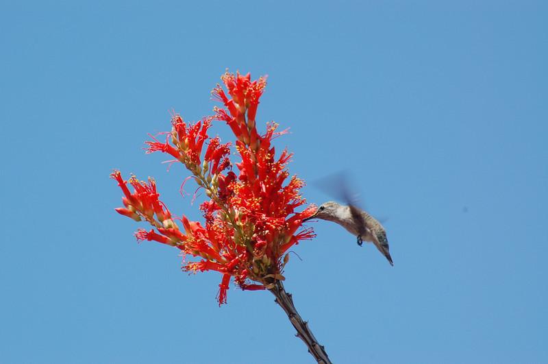 20130425_Hummingbird_004.JPG