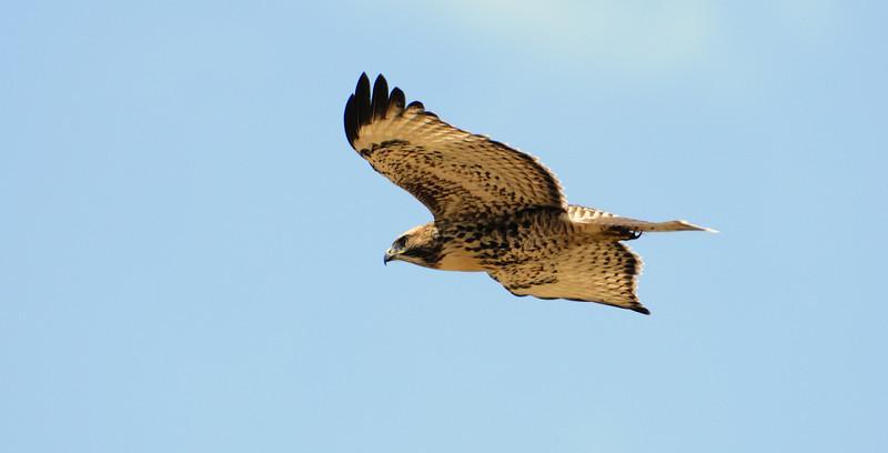 HawkFlight_SRS6677.jpg